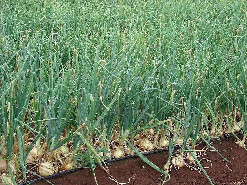 cebolla On cultivo de cebolla larga en casa