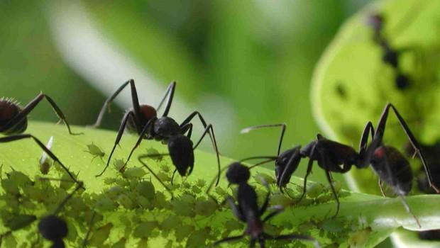 Hormigas en el huerto: ¿peligro o virtud?