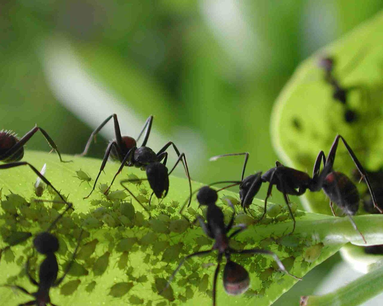 Hormigas en el huerto peligro o virtud - Como acabar con las hormigas en el jardin ...