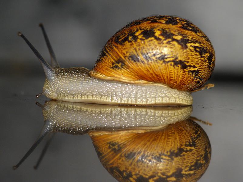 Plaga de babosas o limacos y de caracoles, evitarlas y combatirlas de forma ecológica